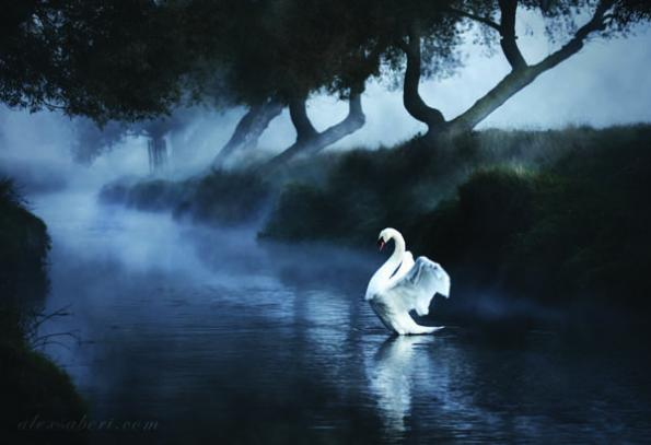 beautifull-swan-alex-saberi